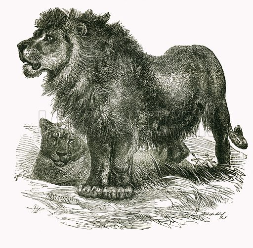 The Lion. Engraving from JG Wood's Illustrated Natural History (c 1850).