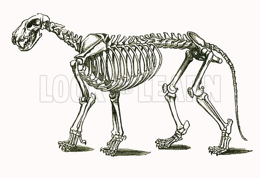 Skeleton of Lion. Engraving from JG Wood's Illustrated Natural History (c 1850).