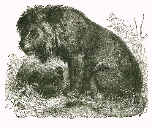 Maneless Lion. Engraving from JG Wood's Illustrated Natural History (c 1850).