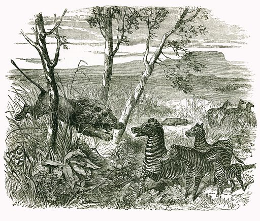Lion and Zebra. Engraving from JG Wood's Illustrated Natural History (c 1850).