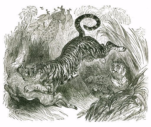 Tiger and Deer. Engraving from JG Wood's Illustrated Natural History (c 1850).
