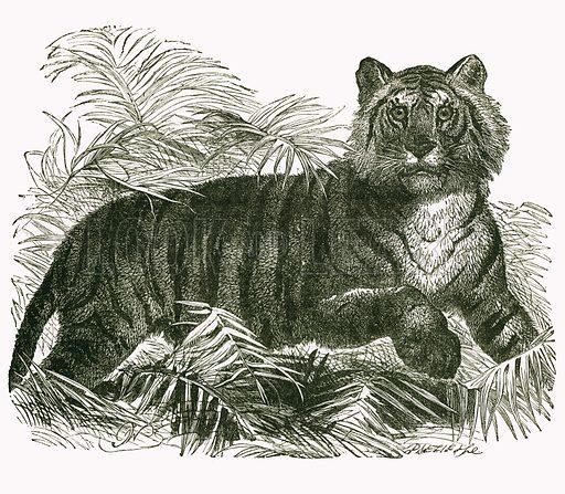 Tiger. Engraving from JG Wood's Illustrated Natural History (c 1850).