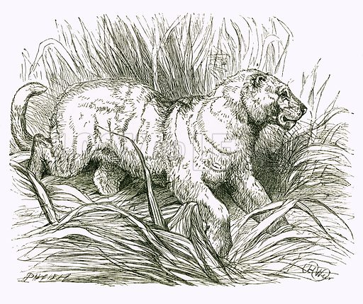 White Tiger. Engraving from JG Wood's Illustrated Natural History (c 1850).