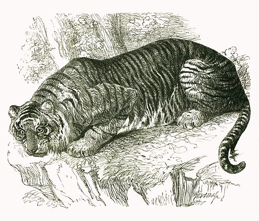 Jungla. Engraving from JG Wood's Illustrated Natural History (c 1850).