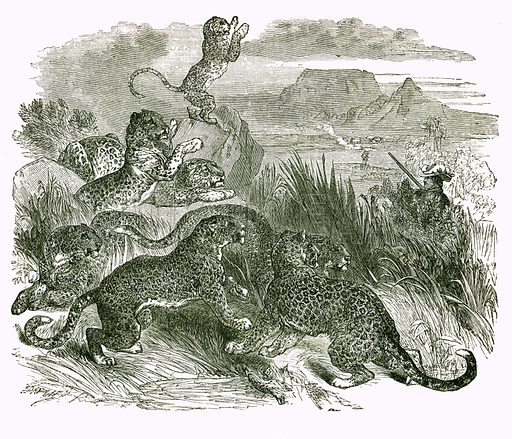The seven Leopards. Engraving from JG Wood's Illustrated Natural History (c 1850).