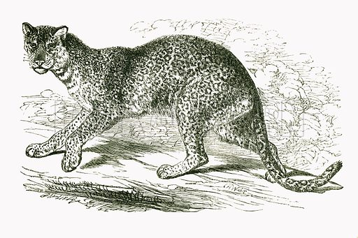 Leopard. Engraving from JG Wood's Illustrated Natural History (c 1850).