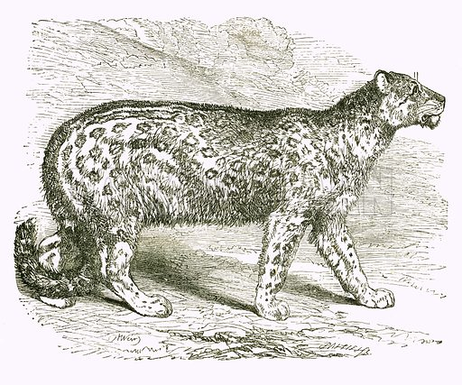 Ounce. Engraving from JG Wood's Illustrated Natural History (c 1850).