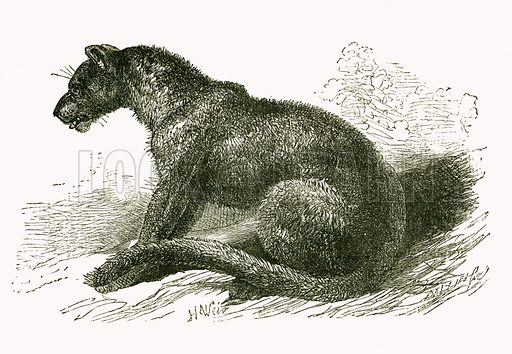 Black Leopard. Engraving from JG Wood's Illustrated Natural History (c 1850).