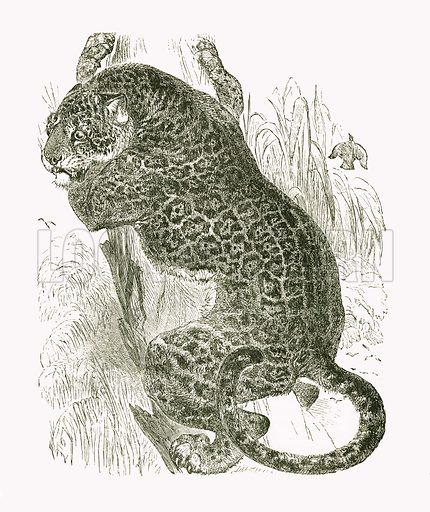 Jaguar. Engraving from JG Wood's Illustrated Natural History (c 1850).