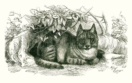 Egyptian Cat. Engraving from JG Wood's Illustrated Natural History (c 1850).
