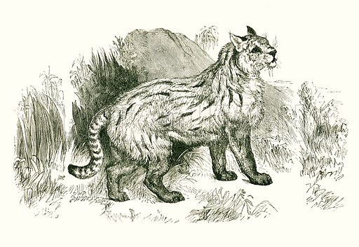 Colocolo. Engraving from JG Wood's Illustrated Natural History (c 1850).
