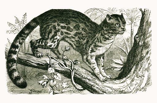 Kuichua. Engraving from JG Wood's Illustrated Natural History (c 1850).