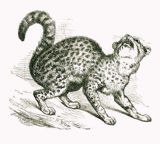Chati. Engraving from JG Wood's Illustrated Natural History (c 1850).