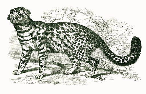 Margay. Engraving from JG Wood's Illustrated Natural History (c 1850).