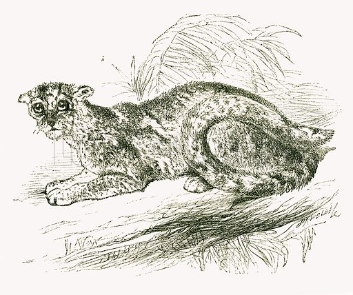 Marbled Cat. Engraving from JG Wood's Illustrated Natural History (c 1850).