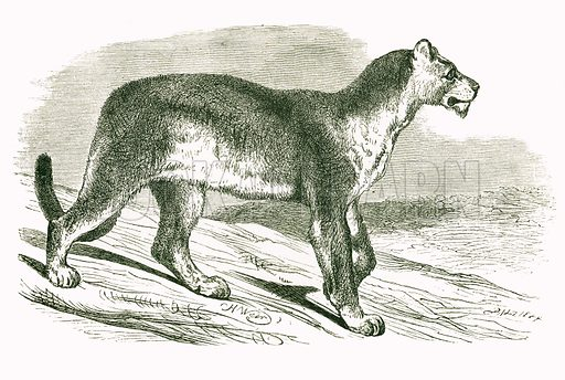 Puma. Engraving from JG Wood's Illustrated Natural History (c 1850).
