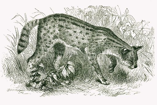 Serval. Engraving from JG Wood's Illustrated Natural History (c 1850).
