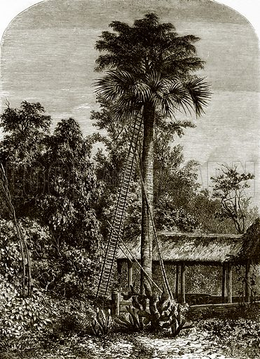 Palm tree in great Andaman. All Round the World, First Series (1868).