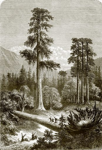 The great pine trees of Sonora. All Round the World, First Series (1868).