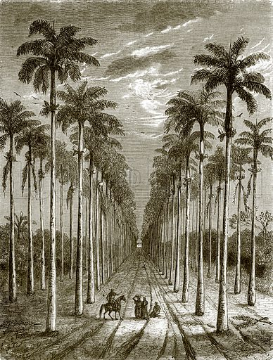 Avenue of palm trees, leading to a residence in Cuba. All Round the World, First Series (1868).