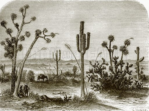 The giant cereus. All Round the World, First Series (1868).