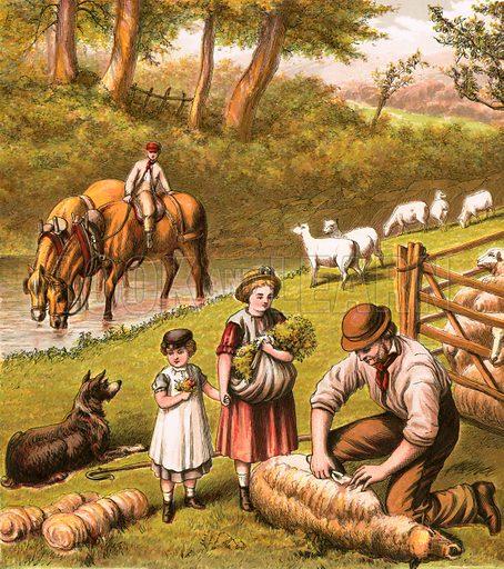 Sheep shearing.  Aunt Louisa