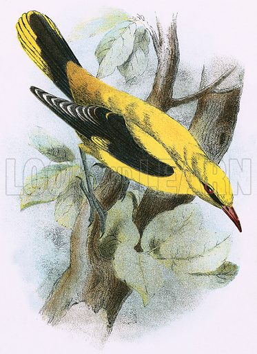 Golden Oriole. A Hand-Book to the Birds of Great Britain by R Bowdler Sharpe (1896).
