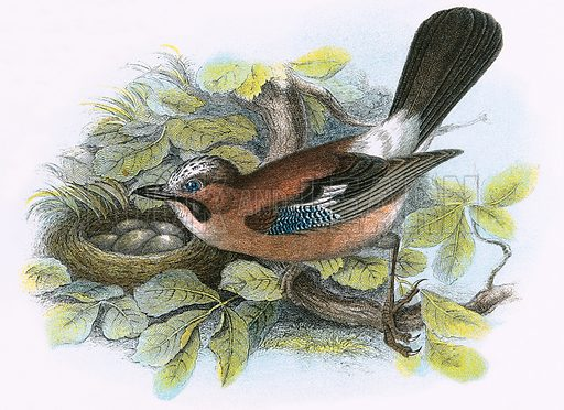 Jay. A Hand-Book to the Birds of Great Britain by R. Bowdler Sharpe (1896).