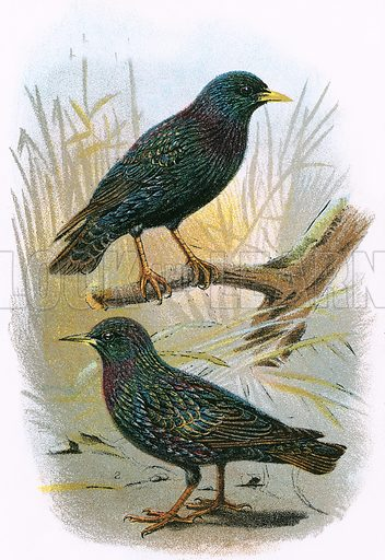 Common Starling (top) and Intermediate Starling (bottom). A Hand-Book to the Birds of Great Britain by R. Bowdler Sharpe (1896).