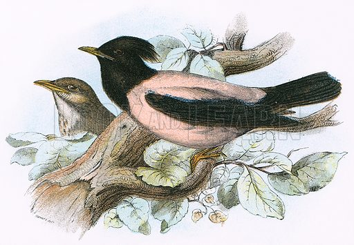 Rose coloured Starling. A Hand-Book to the Birds of Great Britain by R. Bowdler Sharpe (1896).