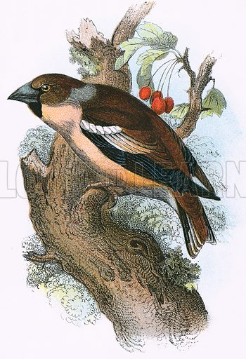 Hawfinch. A Hand-Book to the Birds of Great Britain by R. Bowdler Sharpe (1896).