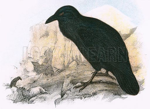Raven. A Hand-Book to the Birds of Great Britain by R. Bowdler Sharpe (1896).
