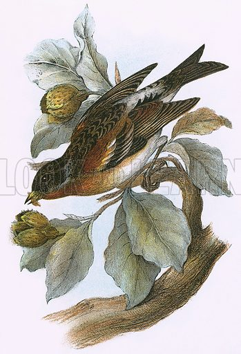 Brambling. A Hand-Book to the Birds of Great Britain by R. Bowdler Sharpe (1896).