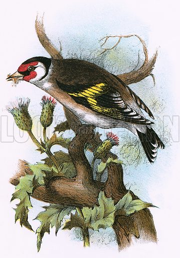 Goldfinch. A Hand-Book to the Birds of Great Britain by R Bowdler Sharpe (1896).