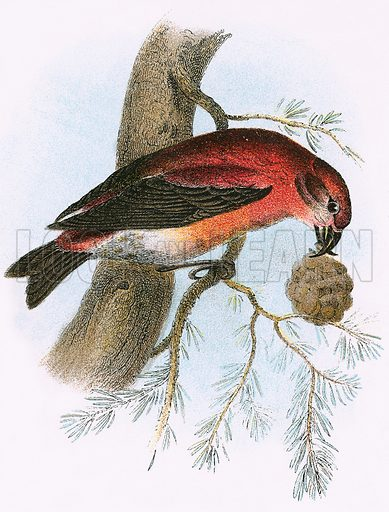 Crossbill. A Hand-Book to the Birds of Great Britain by R Bowdler Sharpe (1896).