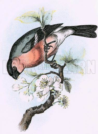 Bullfinch. A Hand-Book to the Birds of Great Britain by R Bowdler Sharpe (1896).