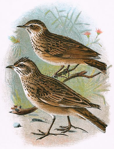 Sky-Lark (bottom) and Wood-Lark (top). A Hand-Book to the Birds of Great Britain by R Bowdler Sharpe (1896).