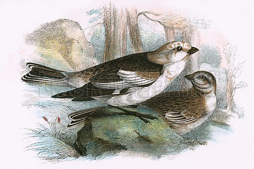 Snow Bunting. A Hand-Book to the Birds of Great Britain by R. Bowdler Sharpe (1896).