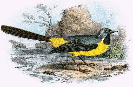 Grey Wagtail. A Hand-Book to the Birds of Great Britain by R Bowdler Sharpe (1896).