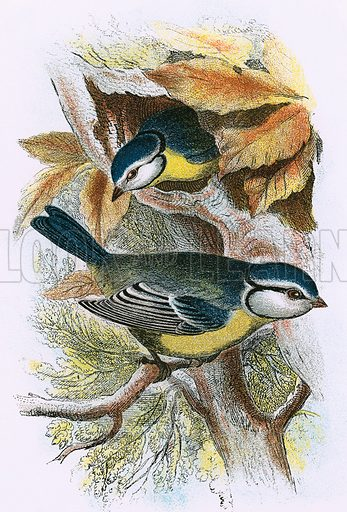 Blue Titmouse. A Hand-Book to the Birds of Great Britain by R Bowdler Sharpe (1896).