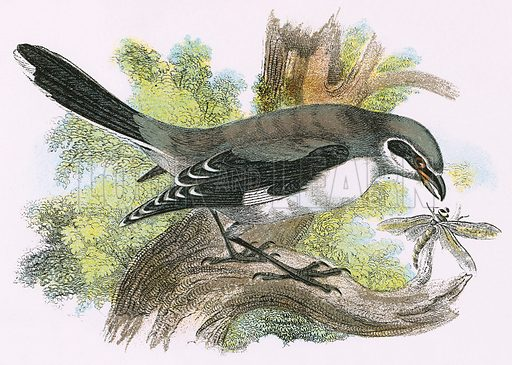 Great grey Shrike. A Hand-Book to the Birds of Great Britain by R Bowdler Sharpe (1896).