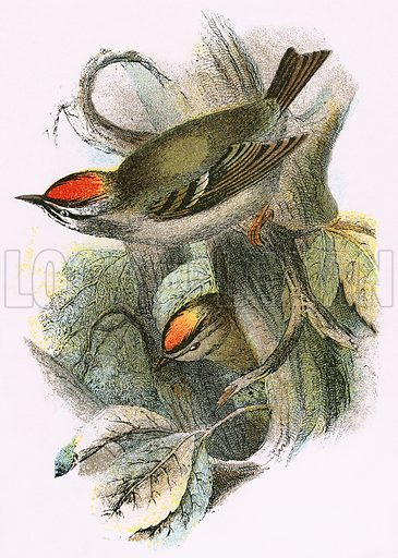 Goldcrest (bottom) and Firecrest (top). A Hand-Book to the Birds of Great Britain by R. Bowdler Sharpe (1896).