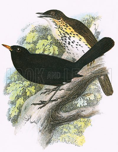 Song-Thrush (top) and Blackbird (bottom). A Hand-Book to the Birds of Great Britain by R. Bowdler Sharpe (1896).