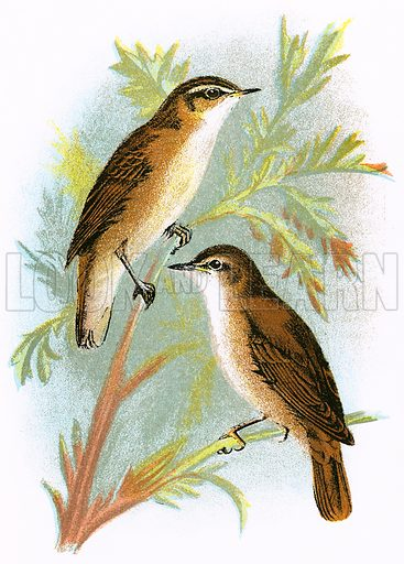Reed Warbler (bottom) and Sedge Warbler (top). A Hand-Book to the Birds of Great Britain by R. Bowdler Sharpe