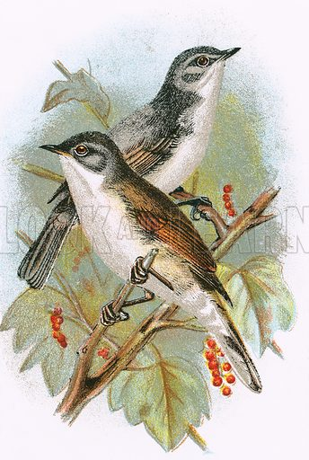 Whitethroat (bottom) and Lesser Whitethroat (top). A Hand-Book to the Birds of Great Britain by R. Bowdler Sharpe (1896).