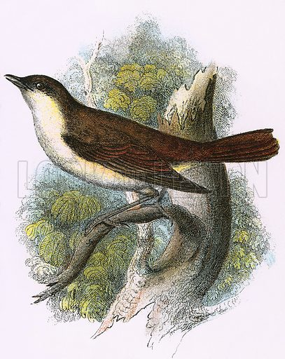 Nightingale. A Hand-Book to the Birds of Great Britain by R Bowdler Sharpe (1896).