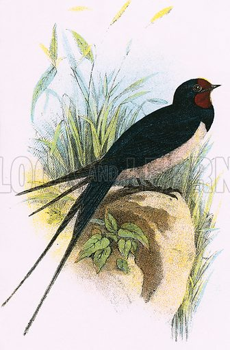 Chimney Swallow. A Hand-Book to the Birds of Great Britain by R. Bowdler Sharpe (1896).