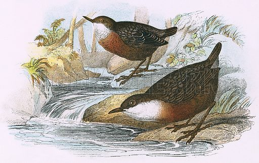 Dipper. A Hand-Book to the Birds of Great Britain by R. Bowdler Sharpe (1896).