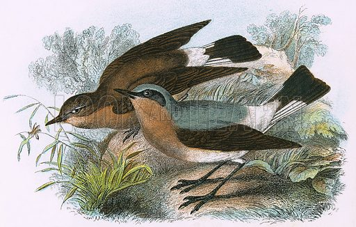 Wheatear. A Hand-Book to the Birds of Great Britain by R. Bowdler Sharpe (1896).