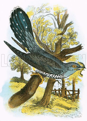 Cuckoo. A Hand-Book to the Birds of Great Britain by R. Bowdler Sharpe (1896).